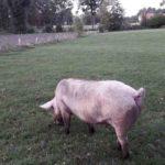 Schweine Weidehaltung Hausschwein Suhle 4