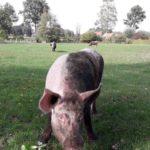 Schweine Weidehaltung Hausschwein Suhle 6