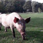 Schweine Weidehaltung Hausschwein Suhle 7