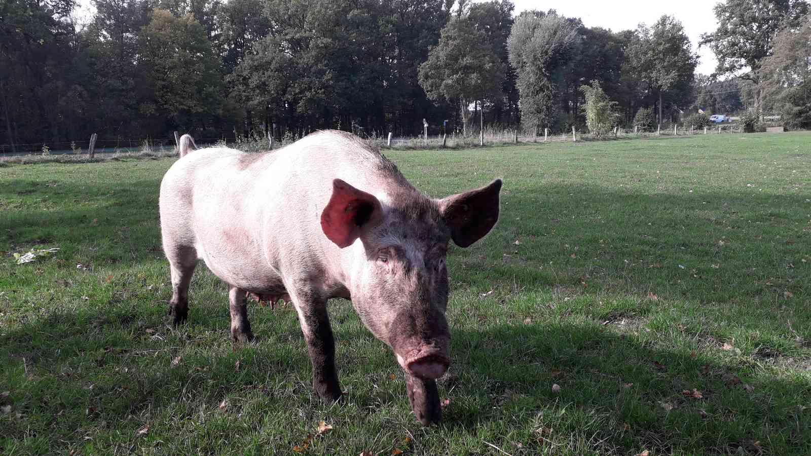 Alter Hausschwein