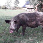Schweine Weidehaltung Hausschwein Suhle 8