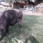 Schweine Weidehaltung Hausschwein Suhle 9